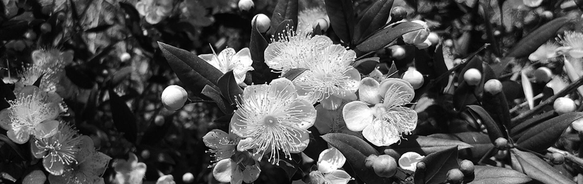 fleurs n&b