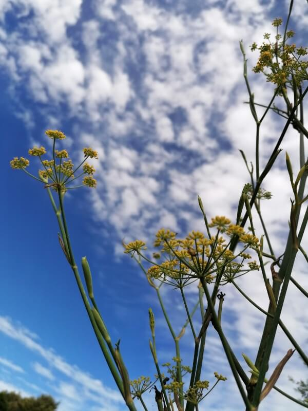 fleurs fenouil maquis corse